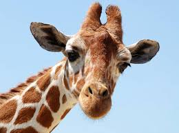 Vill vi kommunicera för att skapa kontakt är hjärtat centralt. Giraffen har det största hjärtat.