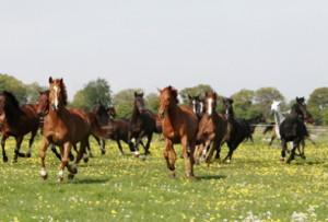 En häst i en flock kan spegla egenskaper vi bär på, medvetna eller omedvetna.